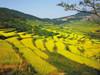 梯田水稻丰收在望